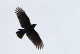Carrion crow Corvus corone črna vrana_MG_9472-111.jpg