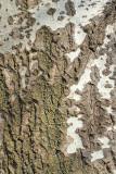Bark of white poplar Populus alba lubje belega topola_MG_95901-11.jpg
