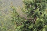 Magpie nest Pica pica gnezdo srake_MG_9789-111.jpg