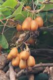 Kiwifruit Actinidia deliciosa kivi_MG_4338-11.jpg