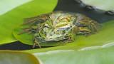 Edible frog Pelophylax (Rana) kl. esculentus zelena žaba_MG_1033-111.jpg
