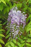 Butterfly-bush Buddleja davidii metuljnik_MG_1041-111.jpg