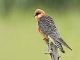 Red-footed Falcon Falco vespertinus rdečenoga postovka_MG_1640-111.jpg
