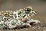 Green toad Pseudepidalea viridis zelena krastača_MG_1409-111.jpg