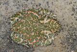 Green toad Pseudepidalea viridis zelena krastača_MG_1402-111.jpg