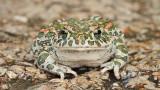 Green toad Pseudepidalea viridis zelena krastača_MG_1442-111.jpg