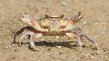 Mediterranean freshwater crab Potamon fluviatile sladkovodna rakovica_MG_0750-111.jpg