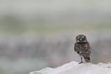 Little owl Athene noctua čuk_MG_1525-111.jpg