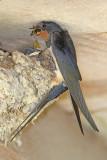 Barn swallow Hirundo rustica kmečka lastovka_MG_2865-111.jpg
