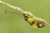 Owl-fly Libelloides macaronius metuljčnica_MG_2407-111.jpg