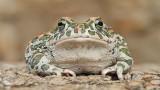 Green toad Pseudepidalea viridis zelena krastača_MG_1432-111.jpg