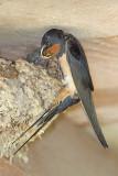 Barn swallow Hirundo rustica kmečka lastovka_MG_2868-11 2.jpg