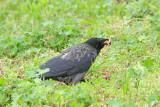 Crow with prey vrana s plenom_MG_0498-111.jpg