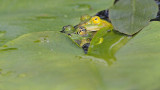 Pool frog Pelophylax (Rana) lessonae pisana žaba_MG_10231-111.jpg