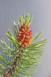 Mountain pine Pinus mugo ruševje_MG_3432-11.jpg