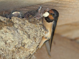 Barn swallow Hirundo rustica kmečka lastovka_MG_2849-111.jpg
