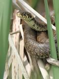 Grass snake Natrix natrix belouška_MG_4498-111.jpg