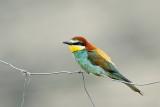 European bee-eater Merops apiaster čebelar_MG_1552-111.jpg