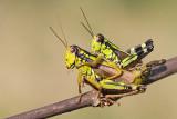 Alpine grasshopper Miramella alpina bukova kobilica_MG_3970-111.jpg