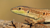 Italian wall lizard Podarcis siculus primorska kuščarica_MG_3510-111.jpg