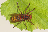 European hornet Vespa crabro sršen_MG_4518-111.jpg