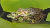 Edible frog Pelophylax (Rana) kl. esculentus zelena žaba_MG_1025-111.jpg