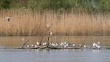 Black-headed gull Chroicocephalus ridibundus rečni galeb_MG_0438-111.jpg