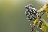 Starling Sturnus vulgaris škorec_MG_4788-11.jpg