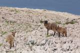 Sheep ovce_MG_8720-111.jpg