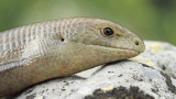 European glass lizard Ophisaurus apodus blavor_MG_1461-111.jpg