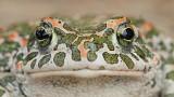 Green toad Pseudepidalea viridis zelena krastača_MG_1447-111.jpg