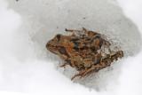 Common frog on snow sekulja na snegu_MG_45581-111.jpg
