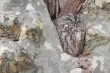Tawny owl Strix aluco lesna sova_MG_5240-111.jpg