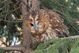 Tawny owl Strix aluco lesna sova_MG_5383-111.jpg
