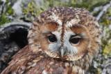Tawny owl Strix aluco lesna sova_MG_5324-111.jpg