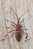 Western conifer seed bug Leptoglossus occidentalis storževa listonožka_MG_5112-11.jpg