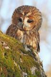 Tawny owl Strix aluco lesna sova_MG_5332-111.jpg
