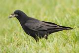 Rook Corvus frugulegus poljska vrana_MG_5409-111.jpg