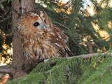 Tawny owl Strix aluco lesna sova_MG_5379-111.jpg