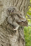 Young tawny owl Strix aluco mlada lesna sova_MG_00391-111.jpg
