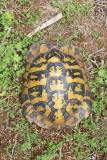 Hermann's tortoise Eurotestudo hermanni grška kornjača_MG_0479-111.jpg