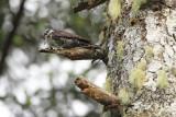 Three-toed woodpecker Picoides tridactylus triprsti detel_MG_6382-111.jpg