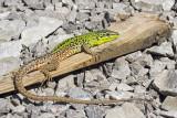 Italian wall lizard Podarcis siculus primorska kuščarica_MG_5925-111.jpg