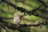 Pygmy owl Glaucidium passerinum mali skovik_MG_6975-111.jpg