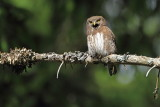 Pygmy owl Glaucidium passerinum mali skovik_MG_6951-111.jpg