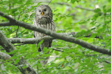 Ural owl Strix uralensis kozača_MG_64121-111.jpg