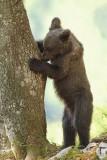 Brown bear Ursus arctos rjavi medved_MG_06671-111.jpg
