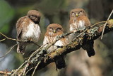 Pygmy owl Glaucidium passerinum mali skovik_MG_7046-111.jpg