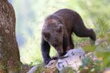 Brown bear Ursus arctos rjavi medved_IMG_0677-111.jpg