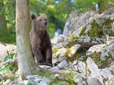Brown bear Ursus arctos rjavi medved_IMG_0774-111.jpg